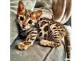 bengal-kittens-small-0