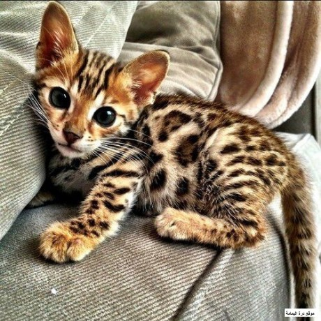 bengal-kittens-big-0