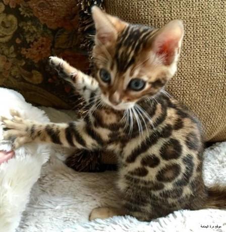 bengal-kittens-big-1