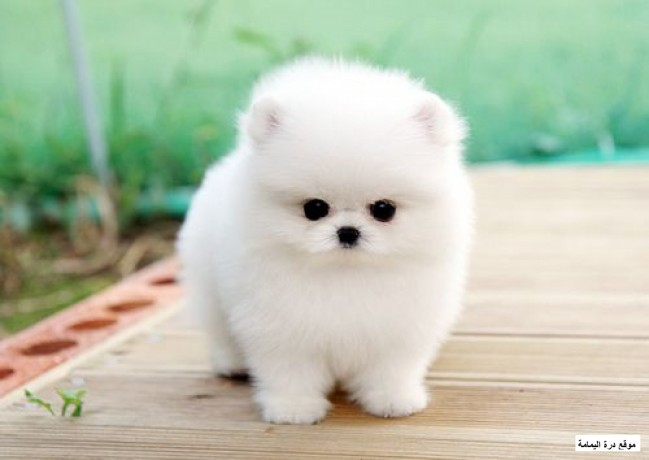 pomeranian-puppies-big-0