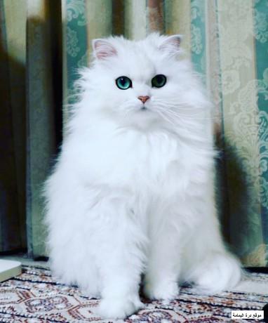 persian-cats-big-0