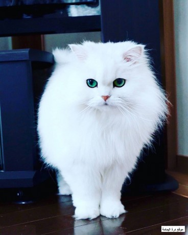 persian-cats-big-1