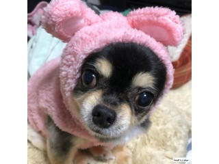 Chihuahua cute ready for new home