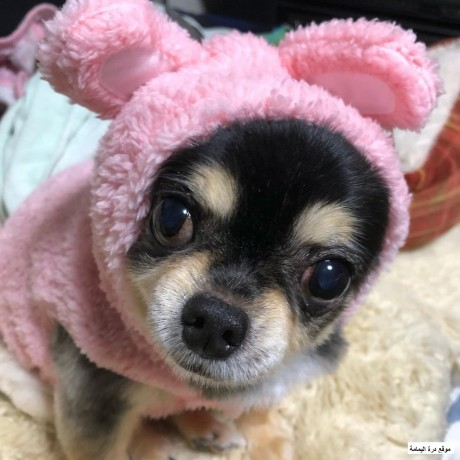 chihuahua-cute-ready-for-new-home-big-0