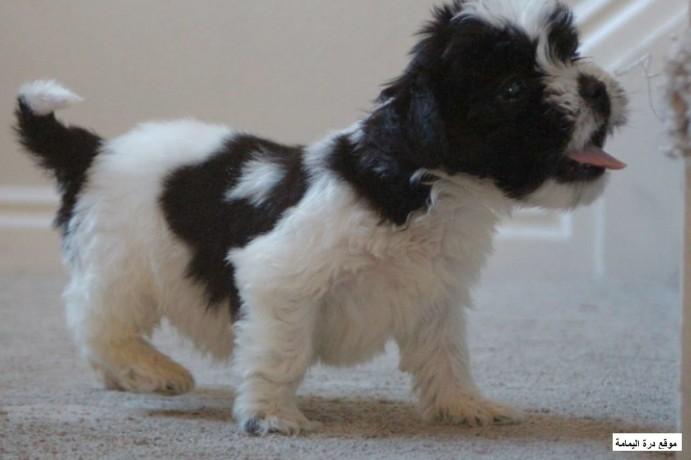 puppy-maltipoo-big-0