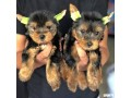 yorkie-bella-small-0